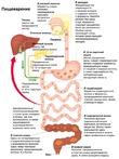 Особенности пищеварительной системы, ее функции.
