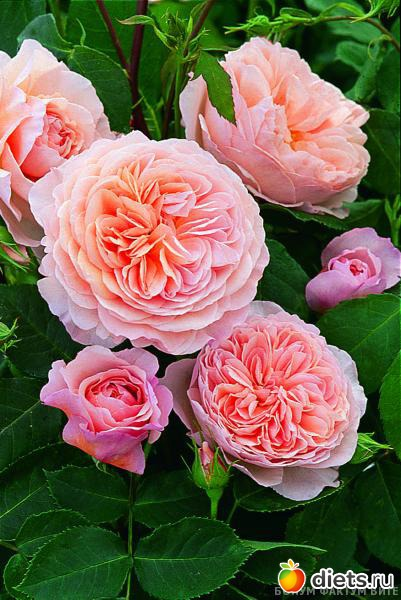 Роза говорит