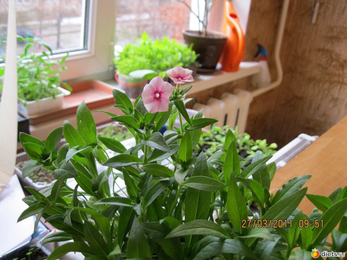 Однолетние флоксы - личный опыт выращивания, красивая 99