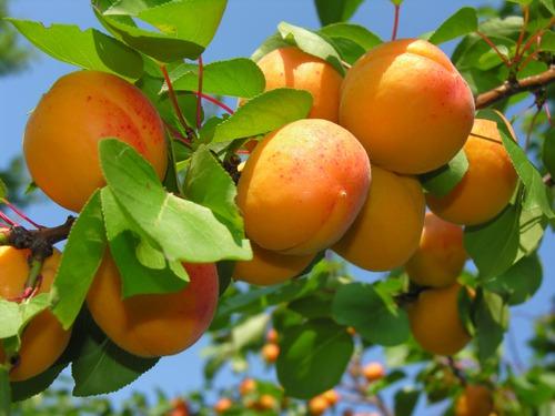 Садоводы Швейцарии ожидают исключительного урожая абрикосов