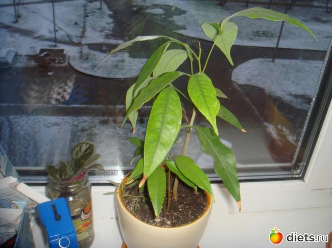 Как посадить рамбутан из косточки в домашних