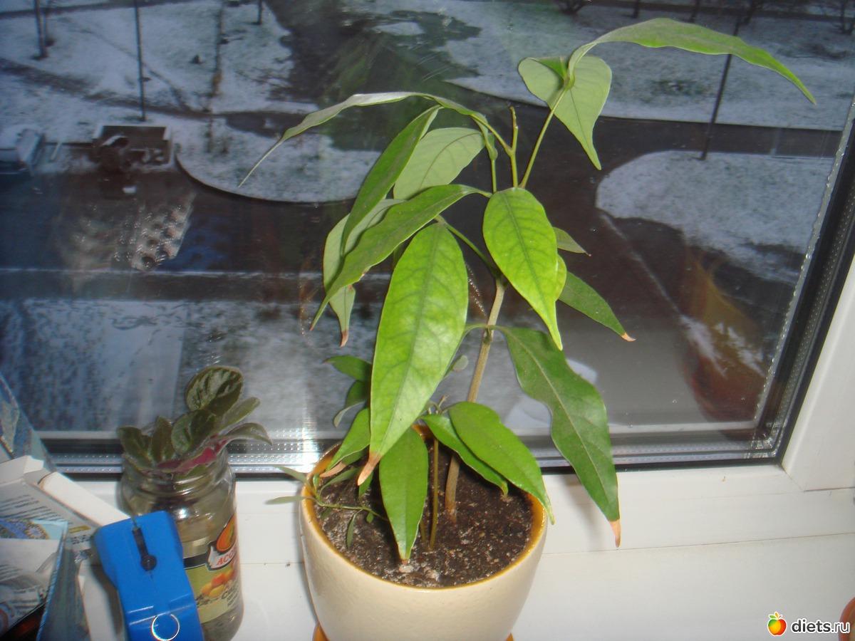 Как вырастить лонган в домашних условиях фото