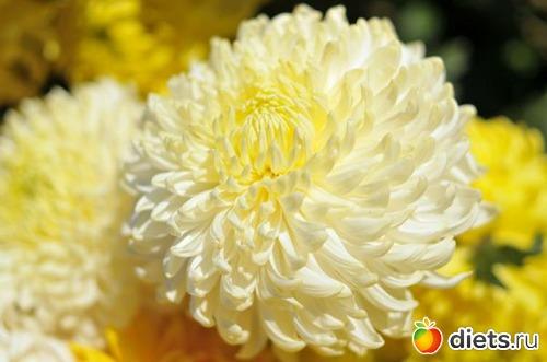 обои для рабочего стола осенние цветы хризантемы № 1155207  скачать