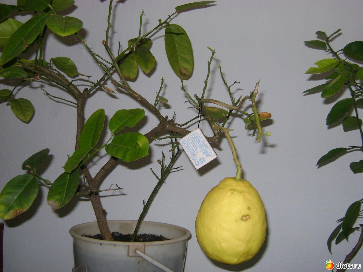 Как в домашних условиях посадить лимон фото