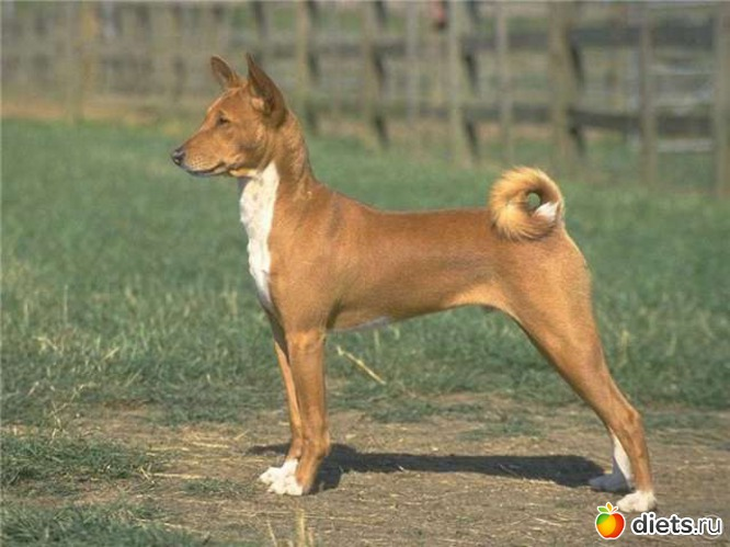 Basenji Puppies Dog Breeds Photos And Pictures - JoBSPapa.com