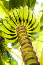 Банановая диета –  минус 3 килограмма за 3 дня