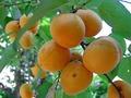 Любимые абрикоски...няча...