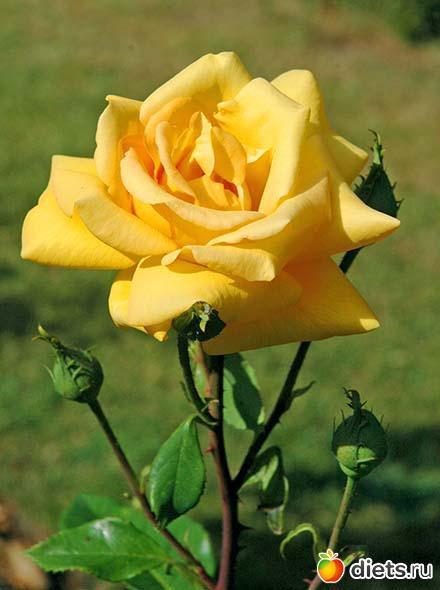 Значение цветок роза