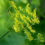 Полезная зелень для жизни: укроп, петрушка, зеленый лук - польза, свойства, лечение, противопоказания.