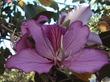 Орхидейное дерево (баухиния)