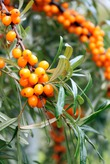 Облепиха - полезная ягода