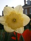 Весенний символ Уэльса