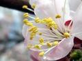 Волшебный аромат (урюк цветет)