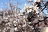 Мой любимый атрибут весны - цветущие сады