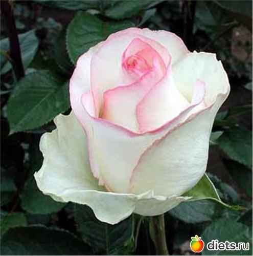 Язык цветов-белая роза
