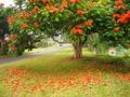 Африканское тюльпанное дерево.