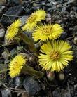 Первоцветы: польза хрупкой красоты
