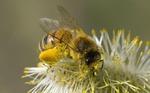 Пчелиная перга для здоровья и красоты