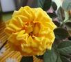 уральская роза