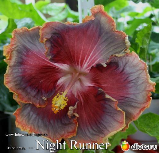 001 - Night Runner, альбом: My Gibiskus Gallery - 2O13