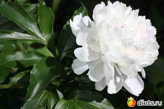 Белый пион, альбом: Дача, цветочки и зверушки