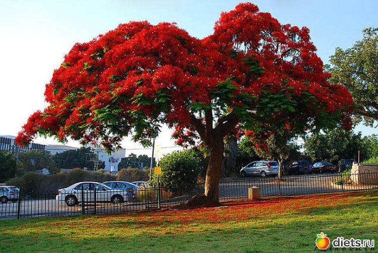 дерево с большими красными цветами фото все, чтобы