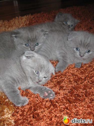 1 фото: Кошка шотландская прямоухая.