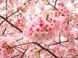 Цветение вишни в Торонто