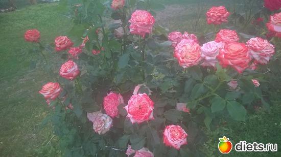 розы, альбом: мои розы