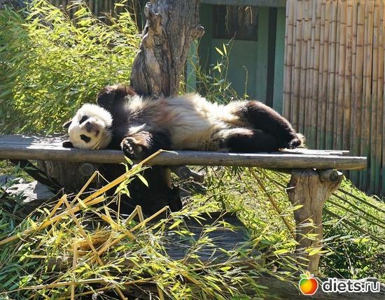Это панда-папа. Он живет в зоопарке Мадрида, альбом: Мои любимые фотографии