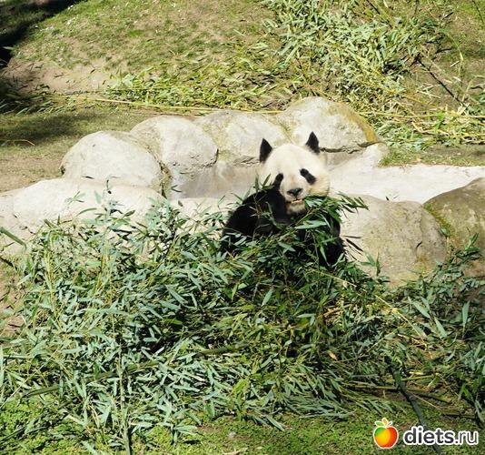 Это панда-чадо. Мадридский зоопарк один из немногих, где прижились эти забавные мишки, альбом: Мои любимые фотографии