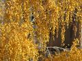 гроздья берёзы, такая красота, ещё и золотая!