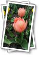 2021 Парад тюльпанов