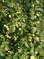 Золотые наливные яблочки