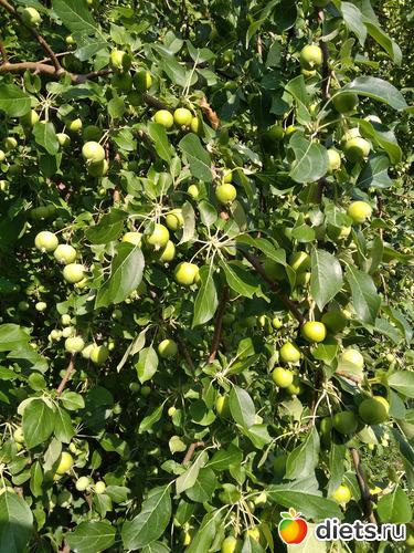 Золотые наливные яблочки, альбом: Июнь