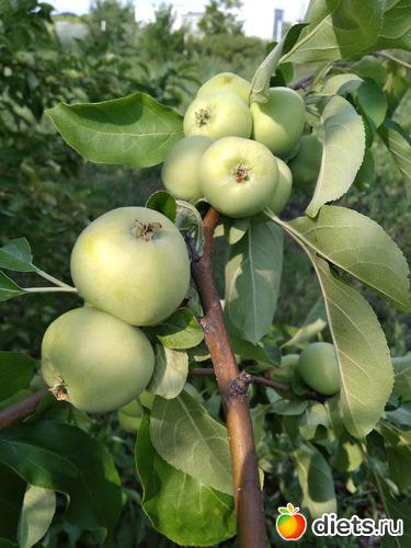 Яблоки, альбом: Июнь