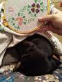 Такса Несси. Любимое занятие - спать у мамы на ручках. И пофигу, что мама занята